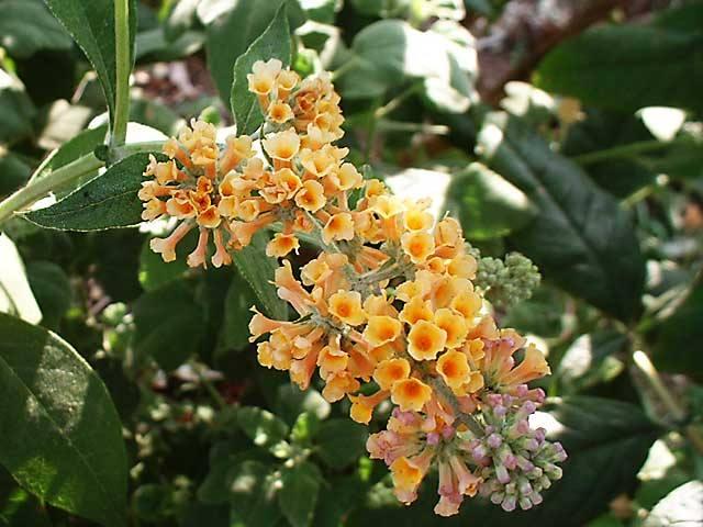 Sommerflieder-gelbbluehend-Sungold-Schmetterlingsmagnet