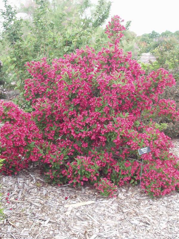 rotbluehende-Weigela-Zierstrauch-2-mal-bluehend